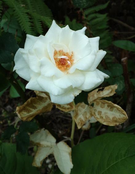 白いバラ (2)