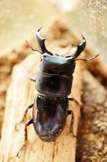 ハチジョウヒラタB1