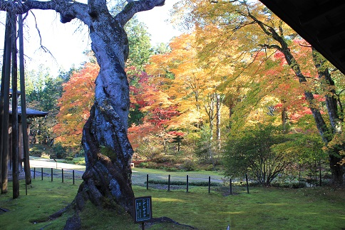 樹齢400年枝垂桜