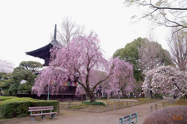 20130331桜_ばんな寺05