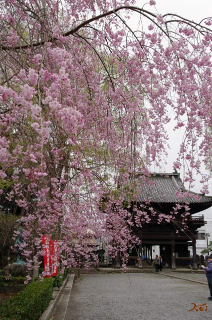 20130331桜_ばんな寺07