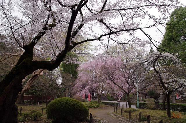 20130331桜_ばんな寺10