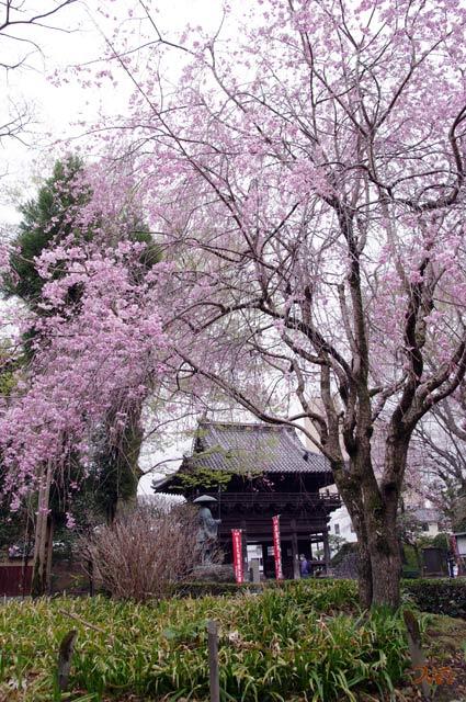20130331桜_ばんな寺09