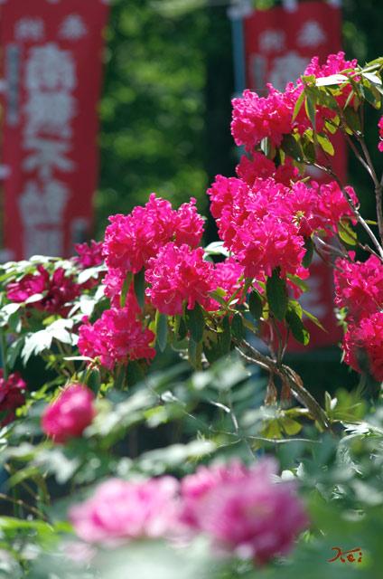 20130518ぼたん祭り_龍願寺18