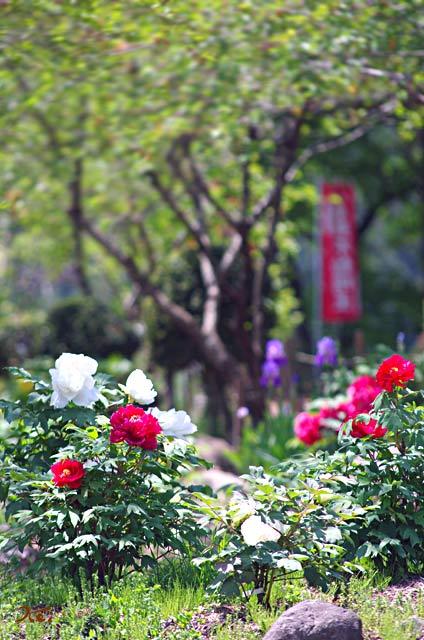 20130518ぼたん祭り_龍願寺07