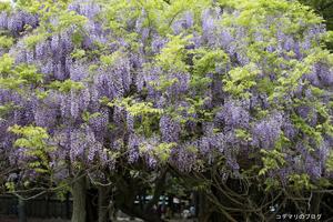 萬葉植物園の藤