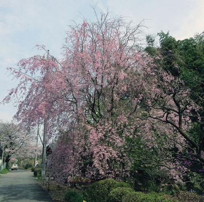 IMG_0097しだれ桜・縮小