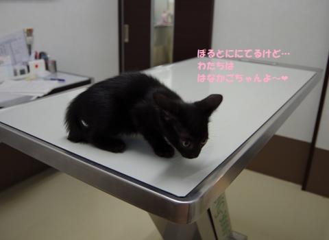 016はなかごちゃん20130819②
