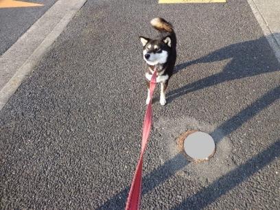 相棒は柴犬さん