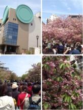造幣局の桜02