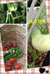 今年の夏野菜4