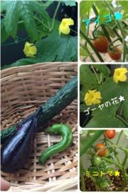 今年の夏野菜3