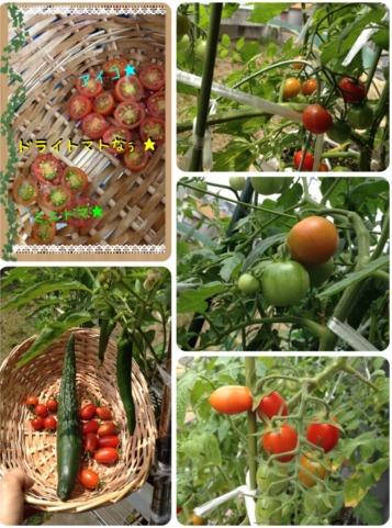 今年の夏野菜6