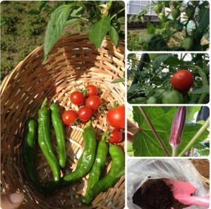 今年の夏野菜7