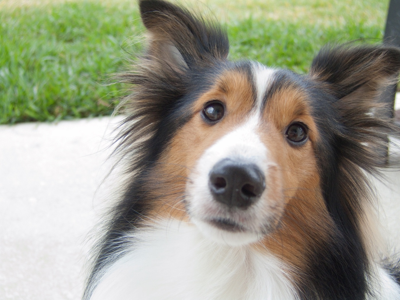 Sheltie Dogs For Sale Vic