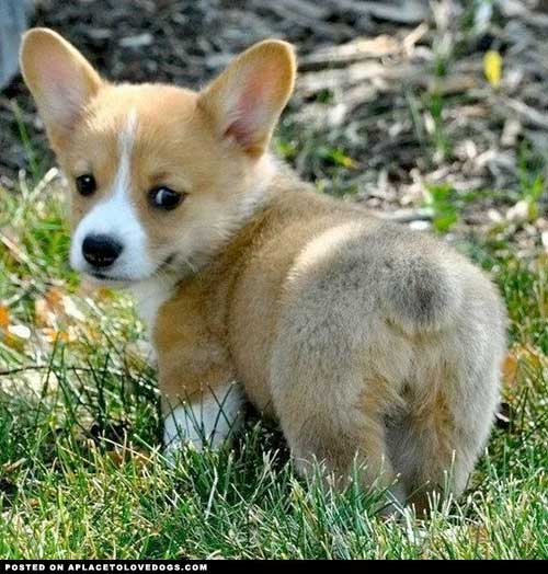 entry_img_68_CorgiButts_004.jpg