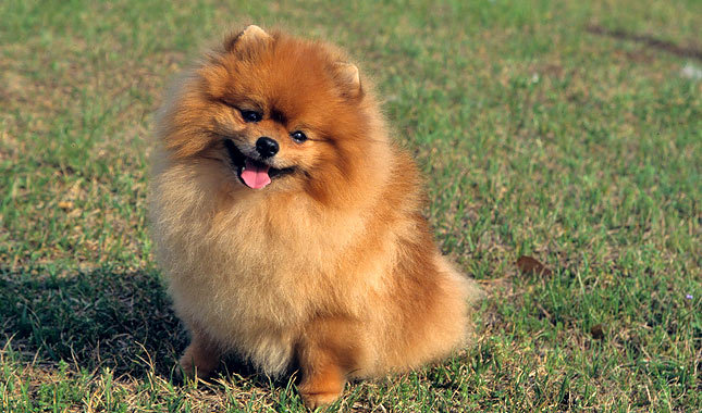 entry_img_78_CutePomeranian_002.jpg