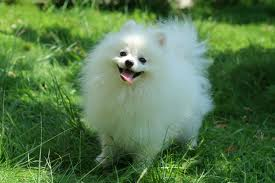 entry_img_78_CutePomeranian_003.jpg