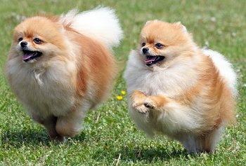 entry_img_78_CutePomeranian_004.jpg
