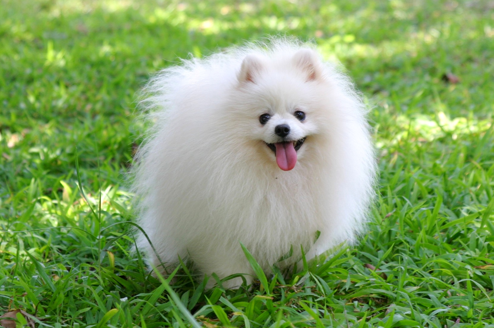 entry_img_78_CutePomeranian_005.jpg