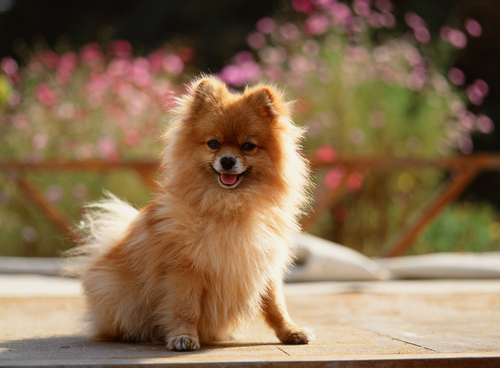 entry_img_78_CutePomeranian_007.jpg