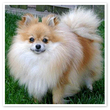 entry_img_78_CutePomeranian_008.jpg