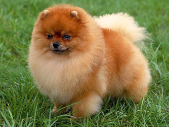 entry_img_78_CutePomeranian_009.jpg