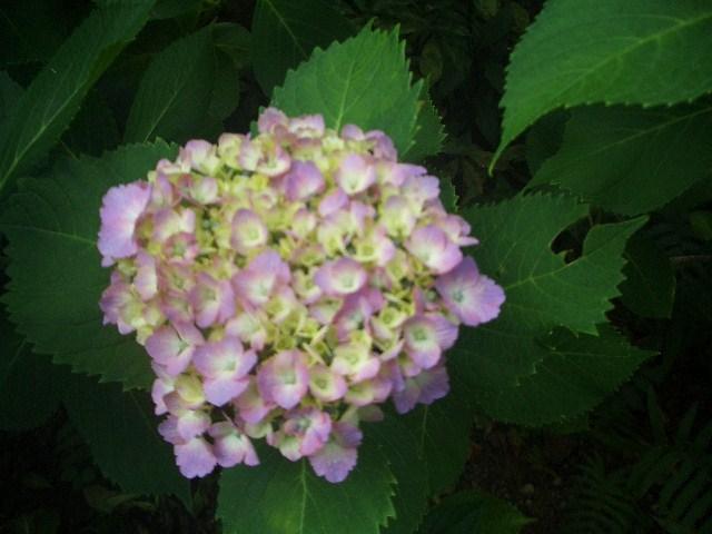 ピンク紫陽花2