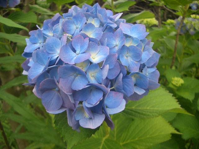 普通の紫陽花2