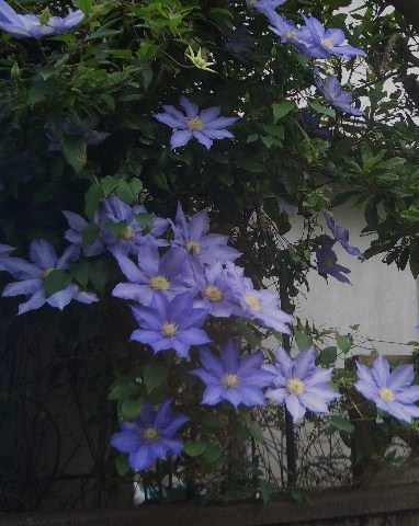クレマチス紫2