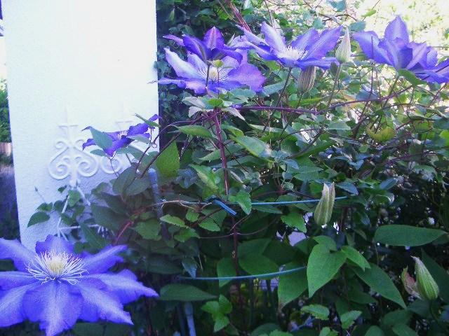 クレマチス紫3