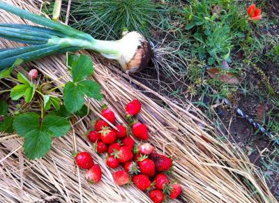 畑のイチゴと玉ねぎ