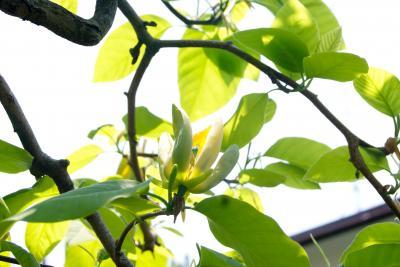 黄色いマグノリア