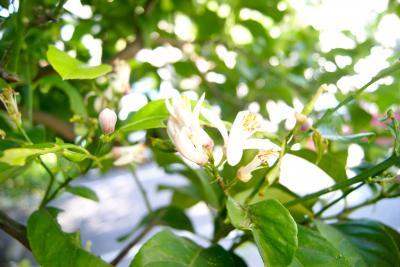 レモンの花と小さな実
