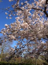 sakura_convert_20130427043736.jpg
