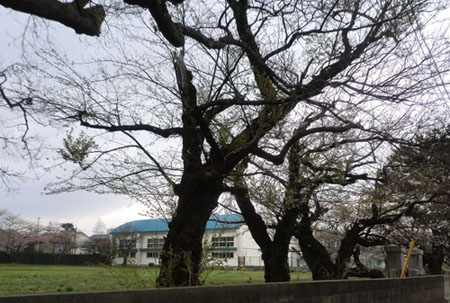 2013-5-5二小の桜