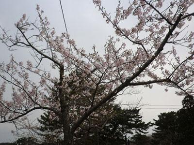 2013-5-5能代公園⑦
