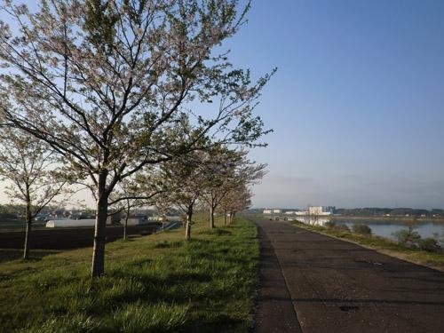 2013-5-12中川原堤防の桜