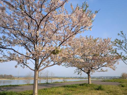 2013-5-12中川原堤防の桜④