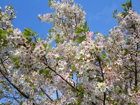 2013-5-12中川原堤防の桜⑦