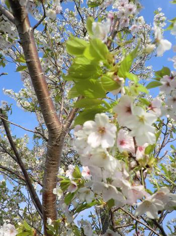 2013-5-12中川原堤防の桜⑩