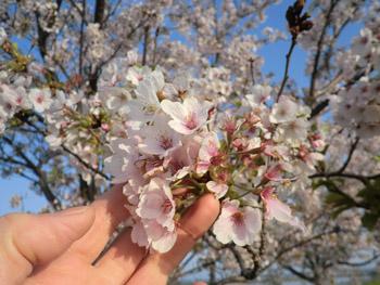 2013-5-12中川原堤防の桜⑫