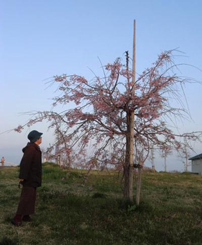 2013-5-12中川原堤防の桜③