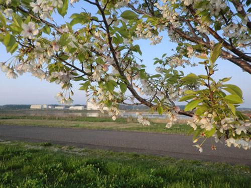 2013-5-12中川原堤防の桜12