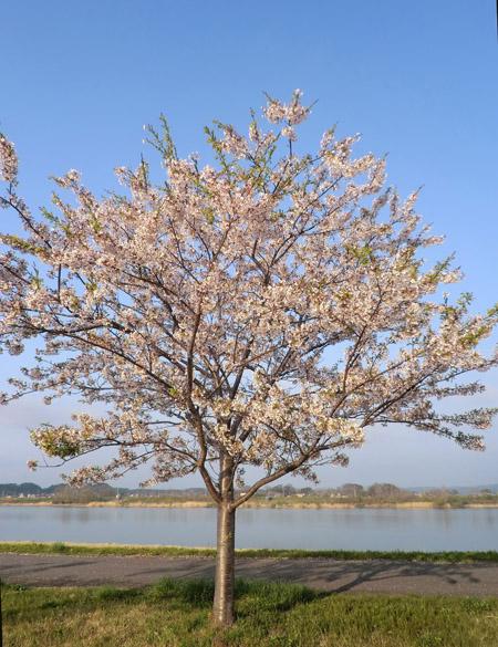 2013-5-12中川原堤防の桜角度調節