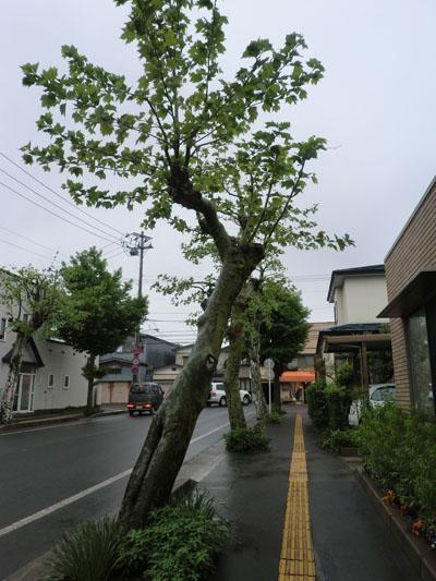 2013-6-4うちの前の並木