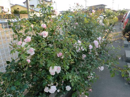 2013-6-24駐車場のバラ