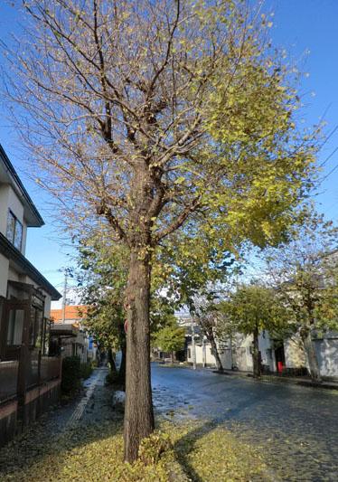 2013-11-19うちの前の街路樹⑥