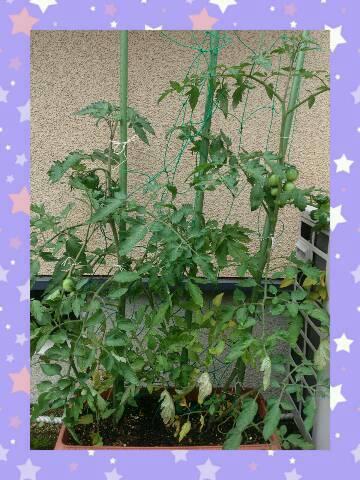 2013 06 25 tomato