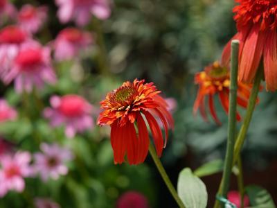 Echinacea perpurea Hot Papaya